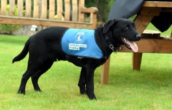 puppy raising guide dogs uk