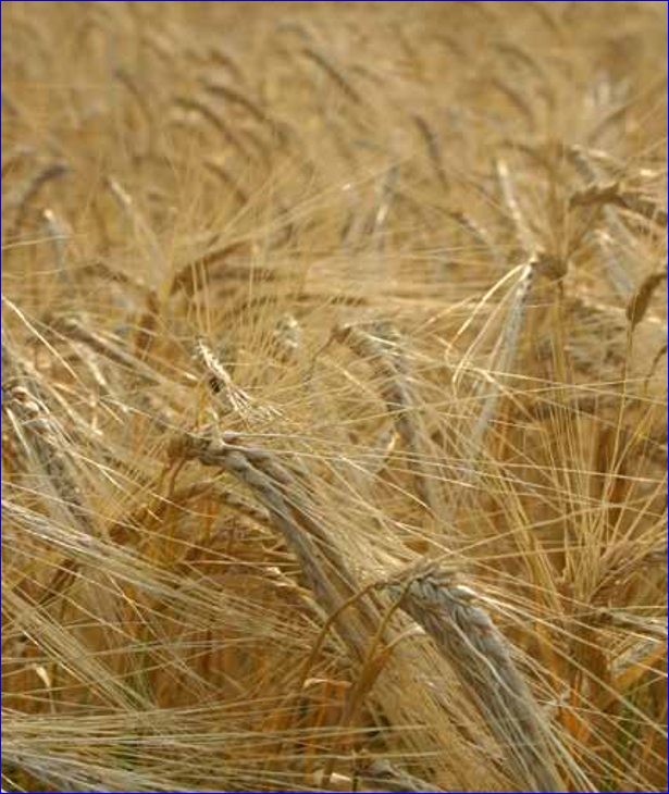 what is the barley growth guide